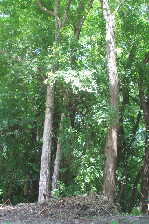 Amur Cork trees-invasive threat to our forests